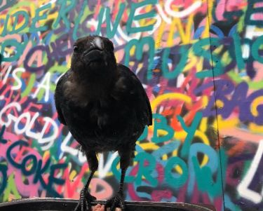 Toby the resident crow